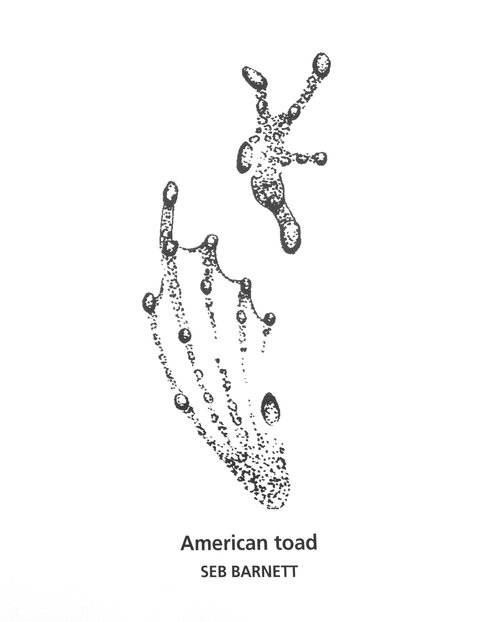 American Toad track drawing by Seb Barnett from Tracks & Sign of Reptiles and Amphibians by Filip Tkczyk