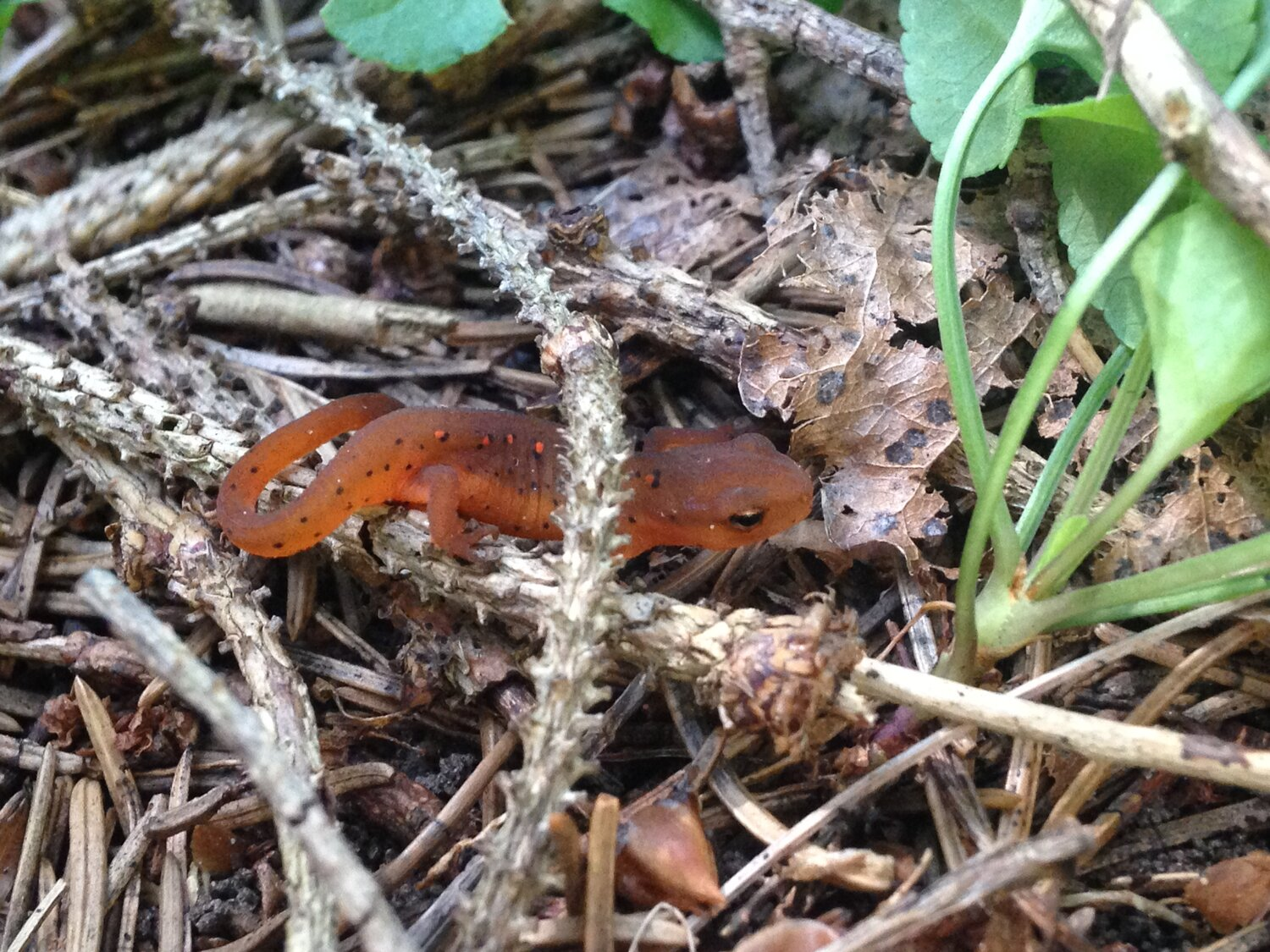 """""""Eft"""" life stage of the Eastern Newt (Notophthalmus viridescens)"""