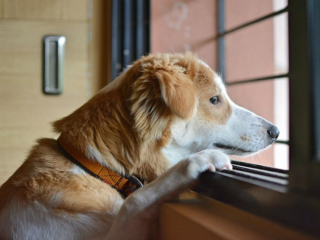 Dog-looking-out-of-window.jpg
