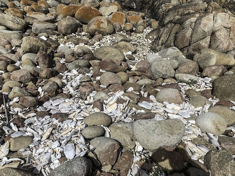 Cuttlefish in the rocks at Little Squally. Other walks are to Winter Cove, Boulder Hill and Garden Cove.