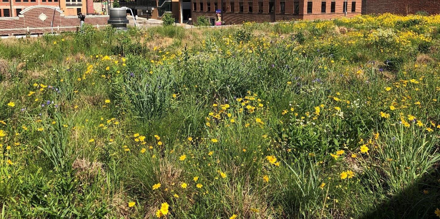 在可到达的屋顶花园的后面,这个隐藏的广泛的绿色屋顶为下面被占用的办公室提供生态系统服务。在这里,草原上的植被自由竞争,只有偶尔看到人类的干扰。这部分绿色屋顶包括位于屋顶花园的相同物种,加上小蓝茎(裂腹草scoparium),草原dropseed Sporobolus heterolepis)。(2018年6月5日布鲁斯·德沃夏克拍摄)