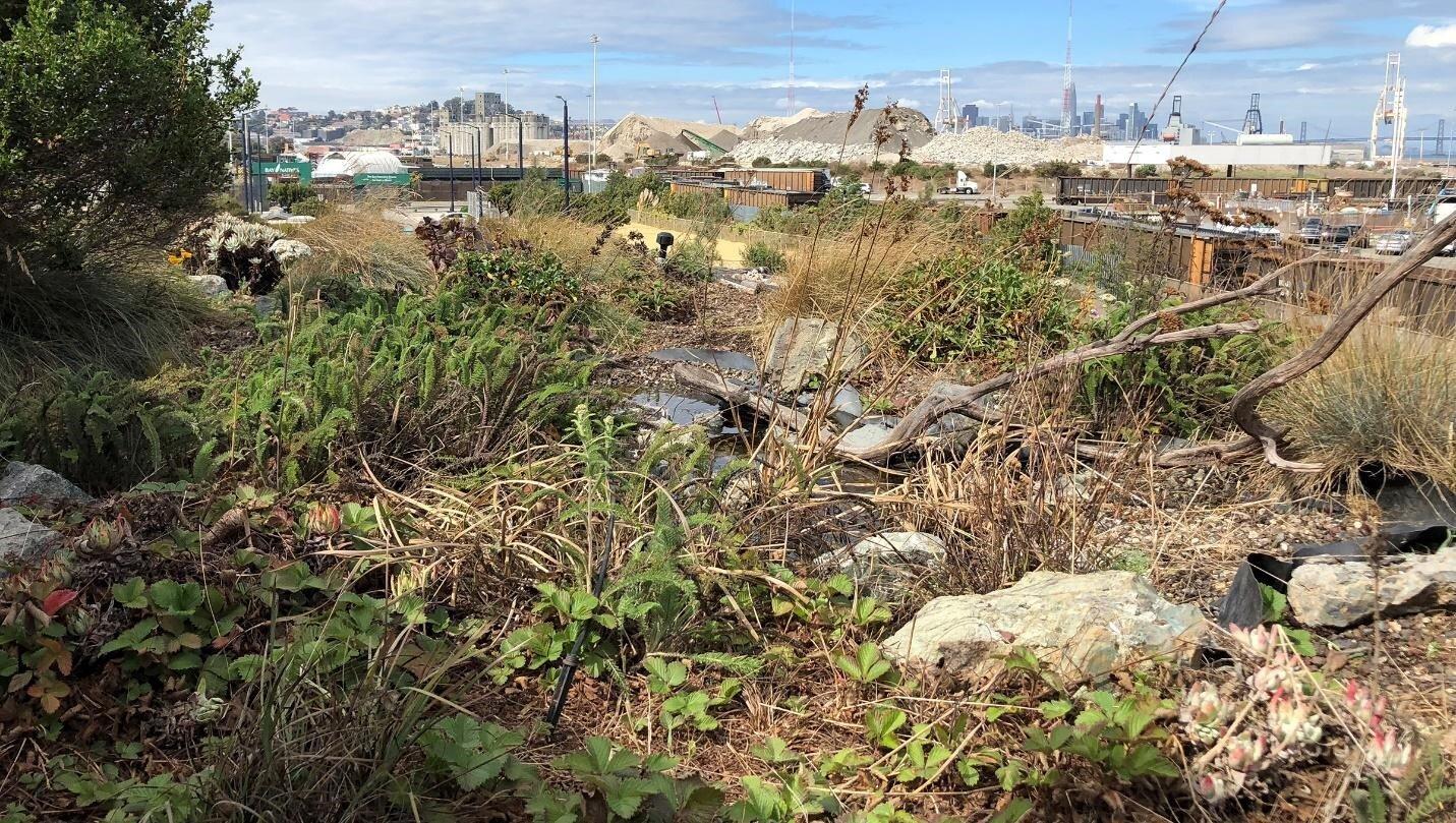 旧金山面向朝南的Biodiverse绿色屋顶符合城市指南建议,以包含本土植物。左边显示的是林地草莓(Fragaria vesca)和右边的卡塔琳娜岛永久生活(Dudlyea hassei),中间左边的蓍草(Achillea millefolium)和边缘的簇毛草(Deschampsia Caespitosa),这是常见的海湾地区的高地栖息地。左边的常绿灌木是蔓扎尼塔,生长在一个隔离的区域,基质较深(30厘米/12英寸)。浮木树枝(右下)和一个小的浅海拔水塘提供了吸引鸟类和野生动物。灌溉用水由位于地面的雨水蓄水池提供。砾石和石头来自临近的砾石采石场(右上)。(图片:Bruce Dvorak, 2018年10月3日)