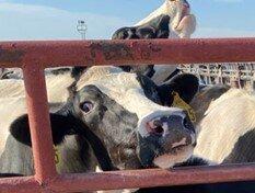 cow closeup (2).jpg